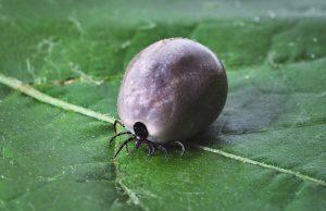 tick, lyme disease, mites