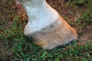 horse hoof, white, leg