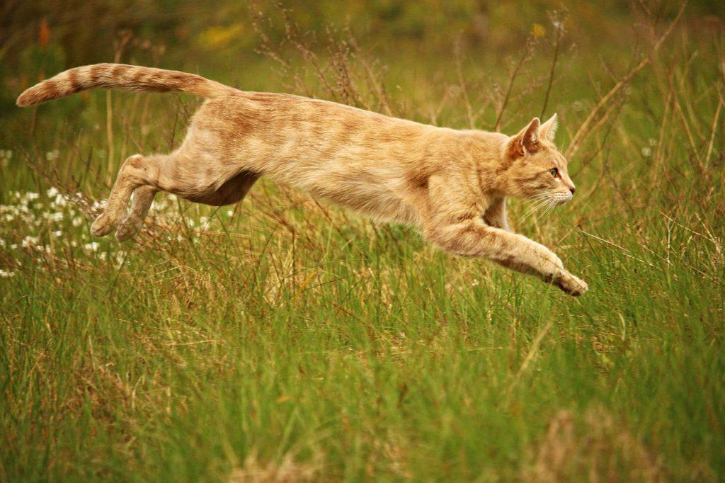 cat, jump, mieze