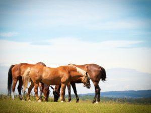 horses, flock, pasture