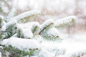 snow in pine tree, pine branch, winter