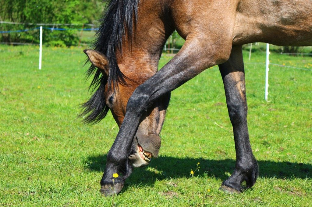 horse, brown mold, thoroughbred arabian